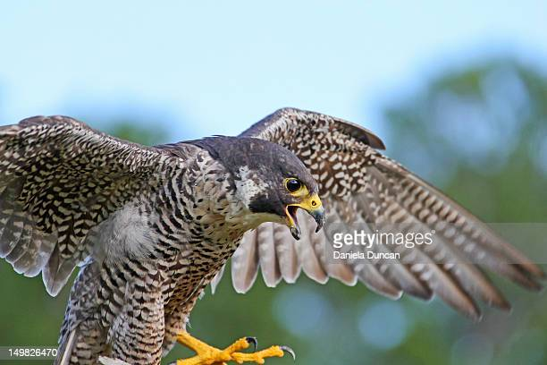 peregrine falco - peregrine falcon stock photos and pictures