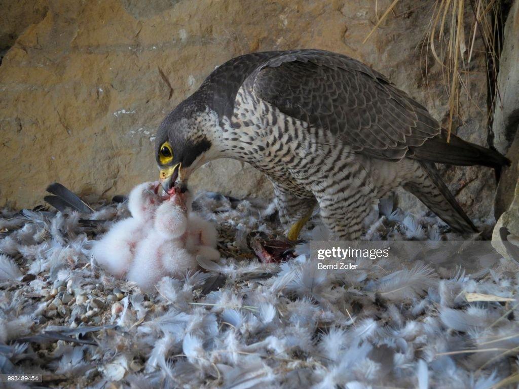 Peregrine Falcon (Falco peregrinus), adult female feeding its chicks, City Church Esslingen, Baden-Wuerttemberg, Germany : Stock Photo