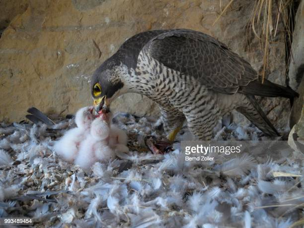 peregrine falcon (falco peregrinus), adult female feeding its chicks, city church esslingen, baden-wuerttemberg, germany - hawk nest foto e immagini stock