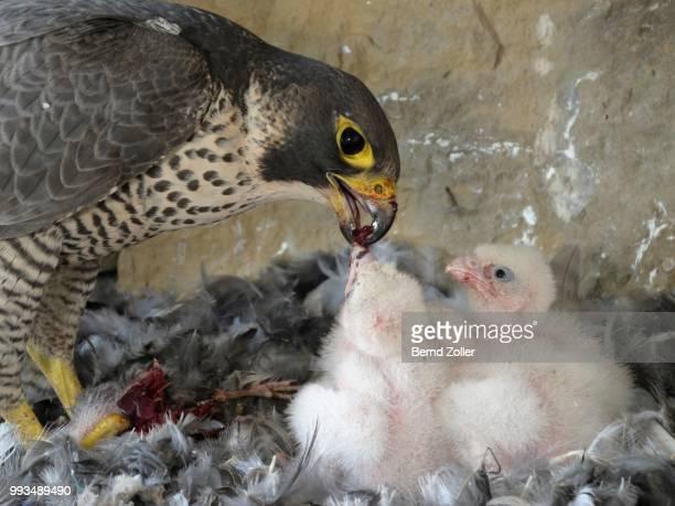 Peregrine Falcon (Falco peregrinus), adult female feeding its chicks, City Church Esslingen, Baden-Wuerttemberg, Germany