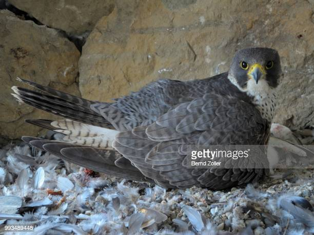 Peregrine Falcon (Falco peregrinus), adult female, warming her newly hatched offspring, City Church Esslingen, Baden-Wuerttemberg, Germany