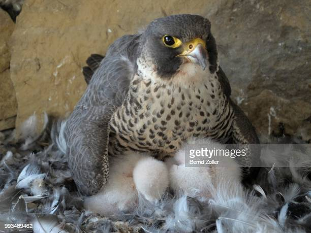 peregrine falcon (falco peregrinus), adult female warming its chicks, city church esslingen, baden-wuerttemberg, germany - hawk nest stock photos and pictures