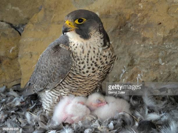 Peregrine Falcon (Falco peregrinus), adult female warming its chicks, City Church Esslingen, Baden-Wuerttemberg, Germany