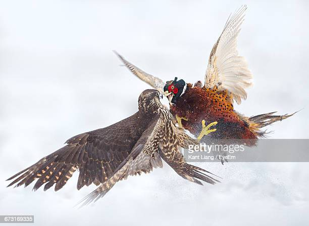 peregrine falcon and pheasant fighting in the snow - falco pellegrino foto e immagini stock