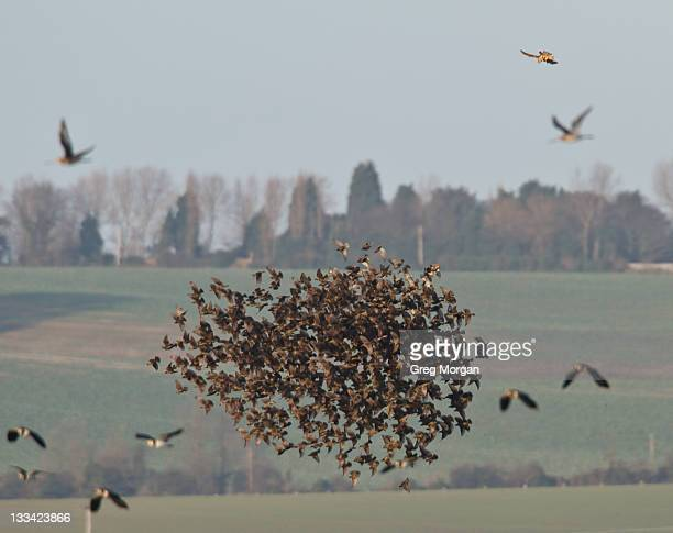 Peregrine falcon attacking starling flock
