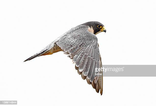 peregrine falcon bird - hawk bird stock photos and pictures