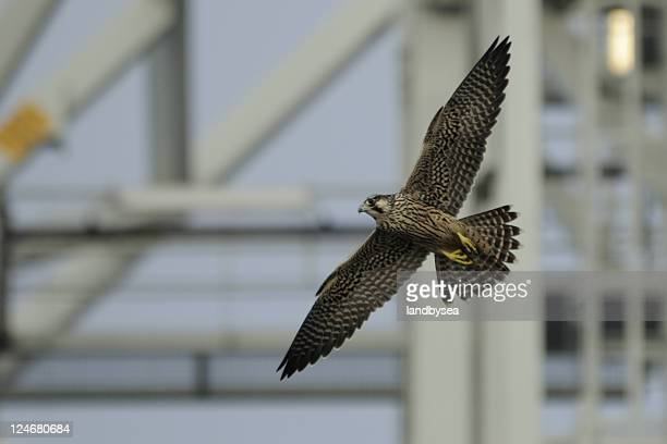 peregrine falcon by steel tower - toren bouwwerk stockfoto's en -beelden