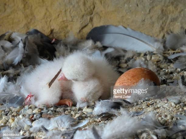 Peregrine Falcon (Falco peregrinus) chicks, a few days old, chicks sharing body warmth, City Church Esslingen, Baden-Wuerttemberg, Germany