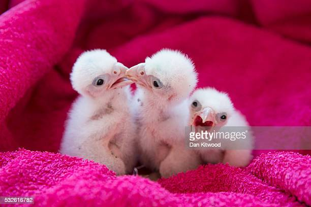 Peregrine Falcon chicks wait to be fed at the ICBP on May 16 2016 in Newent England The ICBP is the oldest dedicated birds of prey centre in the...