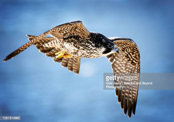 peregrine falcon close up in flight against blue at jones beach, long island - young bird stock pictures, royalty-free photos & images