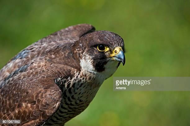 Peregrine falcon close up of bird spreading wings