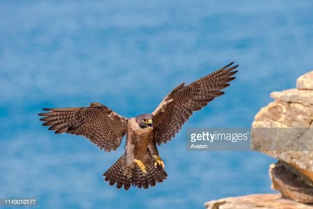 Peregrine Falcon Falco peregrinus.