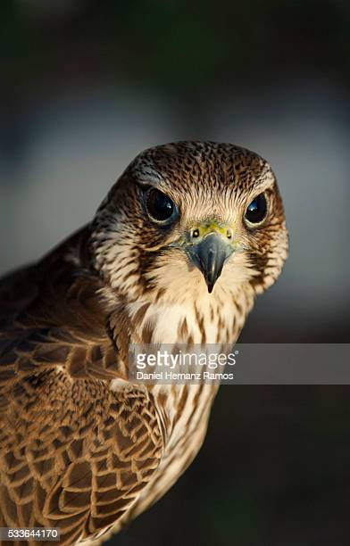 peregrine falcon. falco peregrinus - peregrine falcon stock photos and pictures