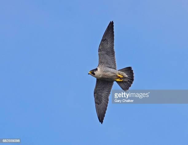 Peregrine Falcon  [Falco peregrinus]