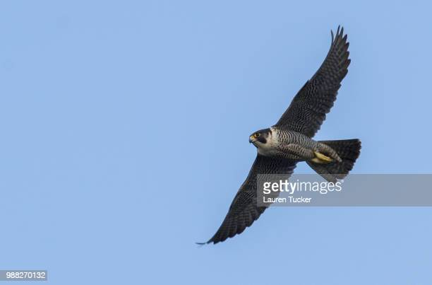 peregrine falcon - falco peregrinus - peregrine falcon stock pictures, royalty-free photos & images