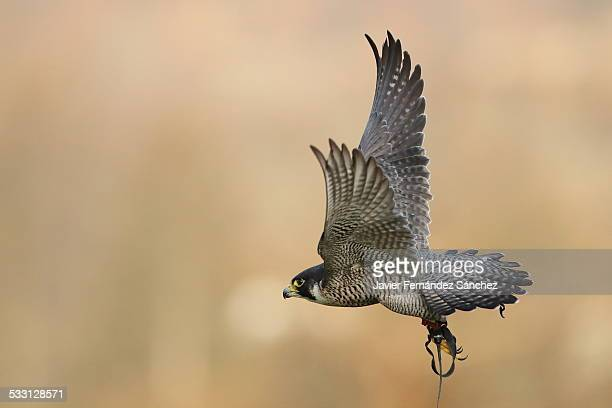 peregrine falcon - falconry - peregrine falcon stock photos and pictures