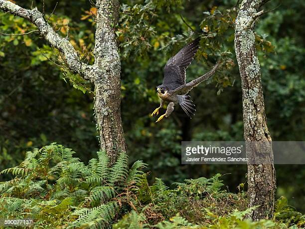 peregrine falcon flying between two oak trees. - falco pellegrino foto e immagini stock