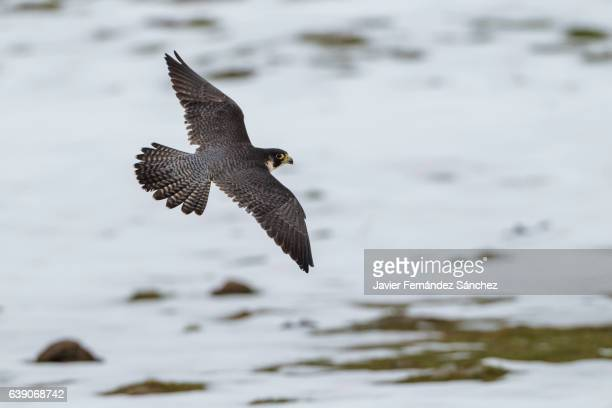 a peregrine falcon (falco peregrinus) flying in a mountainous area with snowy background, in search of prey. - hawk bird - fotografias e filmes do acervo
