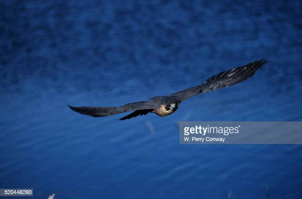 peregrine falcon flying over a lake - falco pellegrino foto e immagini stock