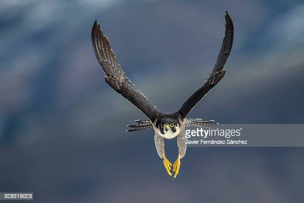 peregrine falcon flying - hawk bird stock photos and pictures