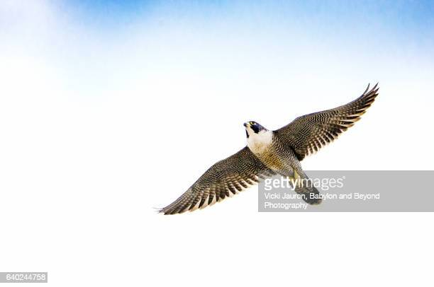 Peregrine Falcon (Falco peregrinus) In Flight Against Blue Sky with Clouds