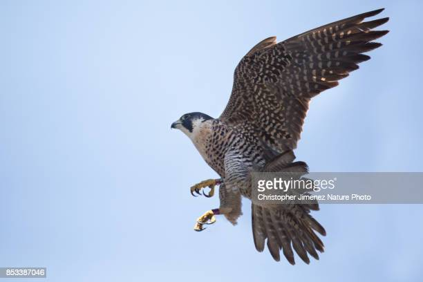 peregrine falcon in flight extending its wings - christopher jimenez nature photo stock pictures, royalty-free photos & images