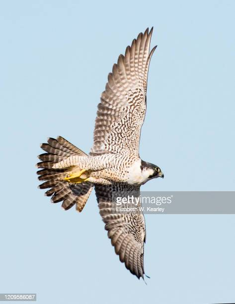 peregrine falcon in flight - peregrine falcon stock pictures, royalty-free photos & images
