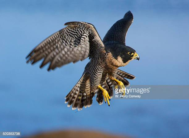peregrine falcon in flight - falco pellegrino foto e immagini stock