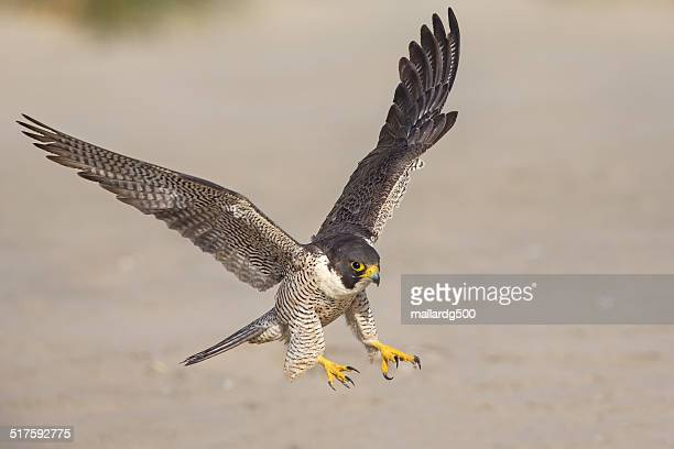 a peregrine falcon in flight pose - peregrine falcon stock photos and pictures