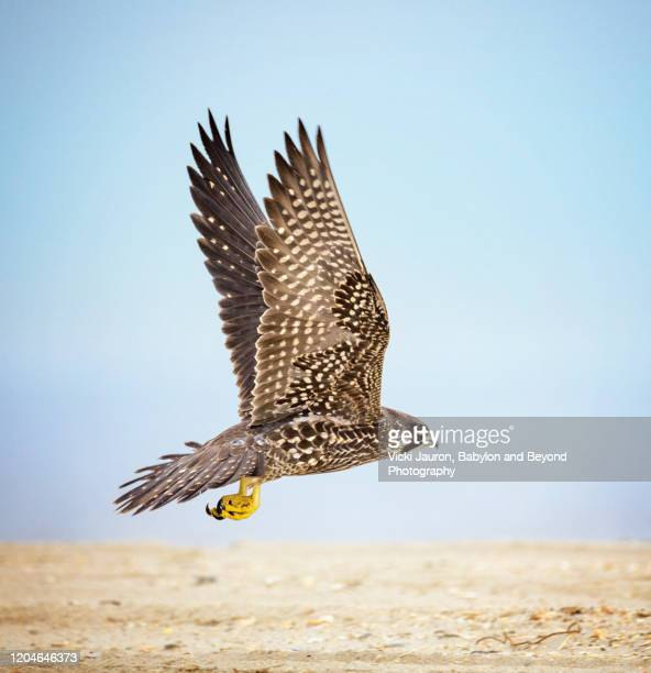 peregrine falcon in flight with wings up at jones beach, long island - peregrine falcon stock pictures, royalty-free photos & images