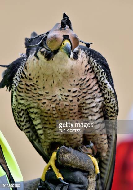 A Peregrine falcon is being prepared by personnel of the Fumigation and Avian Control company to be released to patrol the runways and air space over...