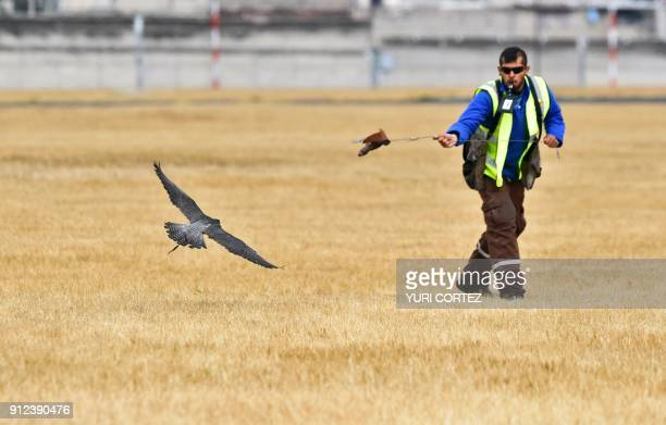 A Peregrine falcon is released by personnel of the Fumigation and Avian Control company to patrol the runways and air space over Mexico City's Benito...