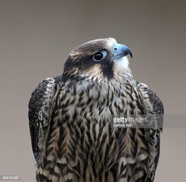 Peregrine Falcon looking at camera