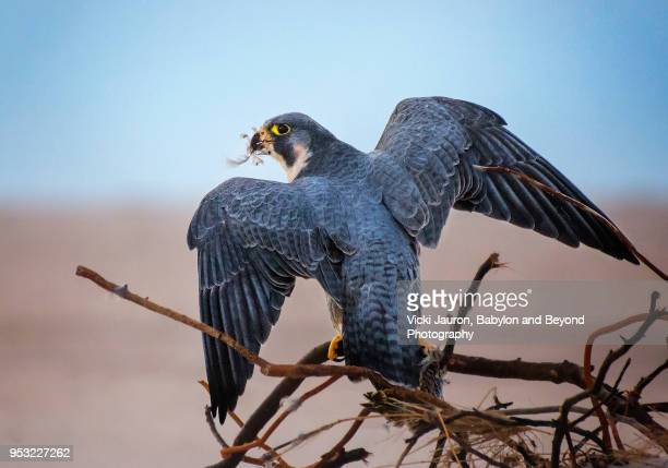 peregrine falcon looking back with wings spread - birds_of_prey stock pictures, royalty-free photos & images