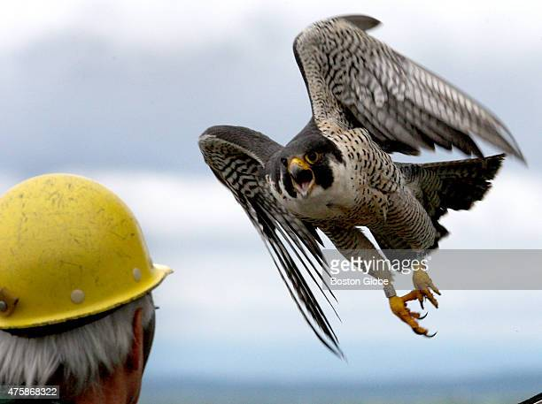Peregrine falcon Merri flies over the head of Tom French as he returns Merri's chicks to their rooftop box on the eighteen story Fox Hall at UMass...