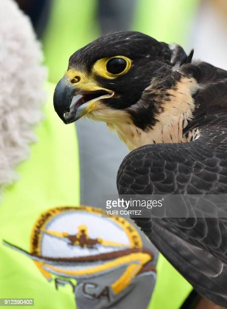 A Peregrine falcon of the Fumigation and Avian Control company is pictured before being released to patrol the runways and air space over Mexico...