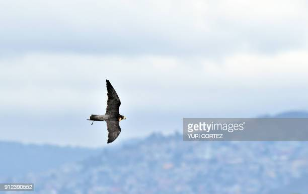A Peregrine falcon of the Fumigation and Avian Control company patrols the runways and air space over Mexico City's Benito Juarez International...