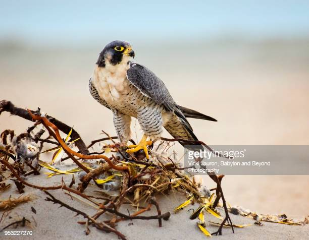 peregrine falcon on beach with feathers from his meal - peregrine falcon stock photos and pictures