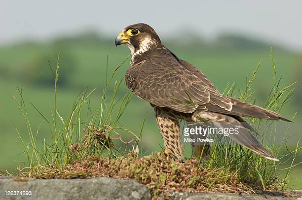 peregrine falcon (falco peregrinus) on ground, uk - peregrine falcon stock pictures, royalty-free photos & images