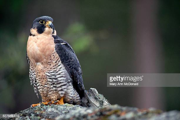peregrine falcon on rock - peregrine falcon stock pictures, royalty-free photos & images