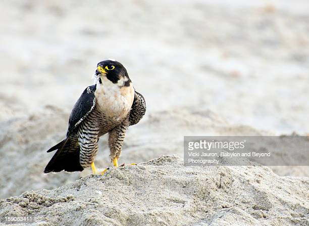 peregrine falcon on the beach - falco pellegrino foto e immagini stock