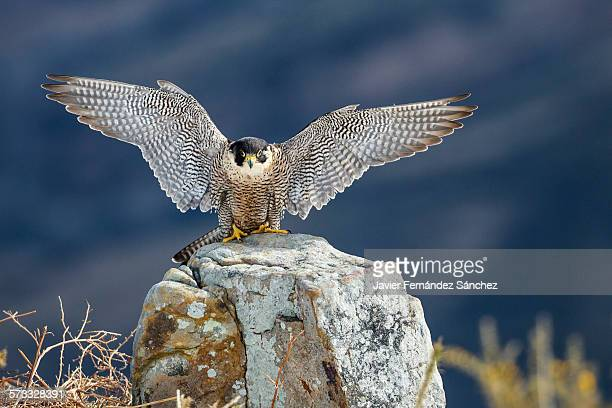 peregrine falcon, open wings - peregrine falcon stock pictures, royalty-free photos & images
