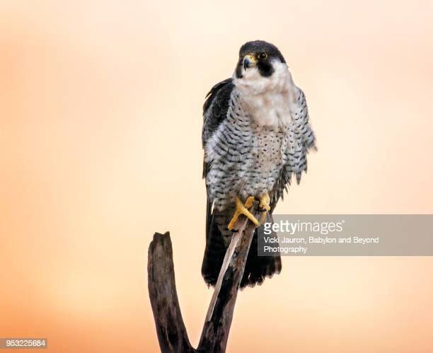 peregrine falcon perched on branch on the beach on long island - peregrine falcon stock photos and pictures