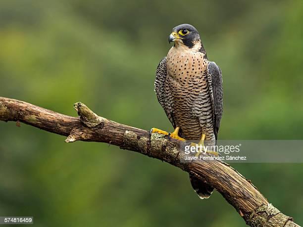 Peregrine falcon perched on branch