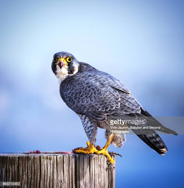 peregrine falcon perched on post at jones beach - peregrine falcon stock photos and pictures
