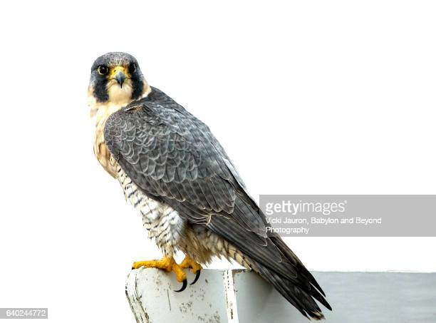 peregrine falcon (falco peregrinus) perched on sign at jones beach - falco pellegrino foto e immagini stock