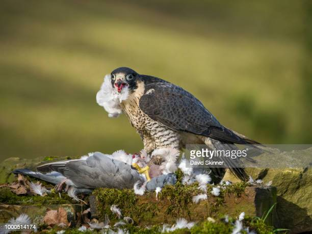 peregrine falcon - tierisches verhalten stock-fotos und bilder