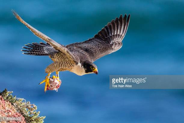 peregrine falcon - peregrine falcon stock pictures, royalty-free photos & images