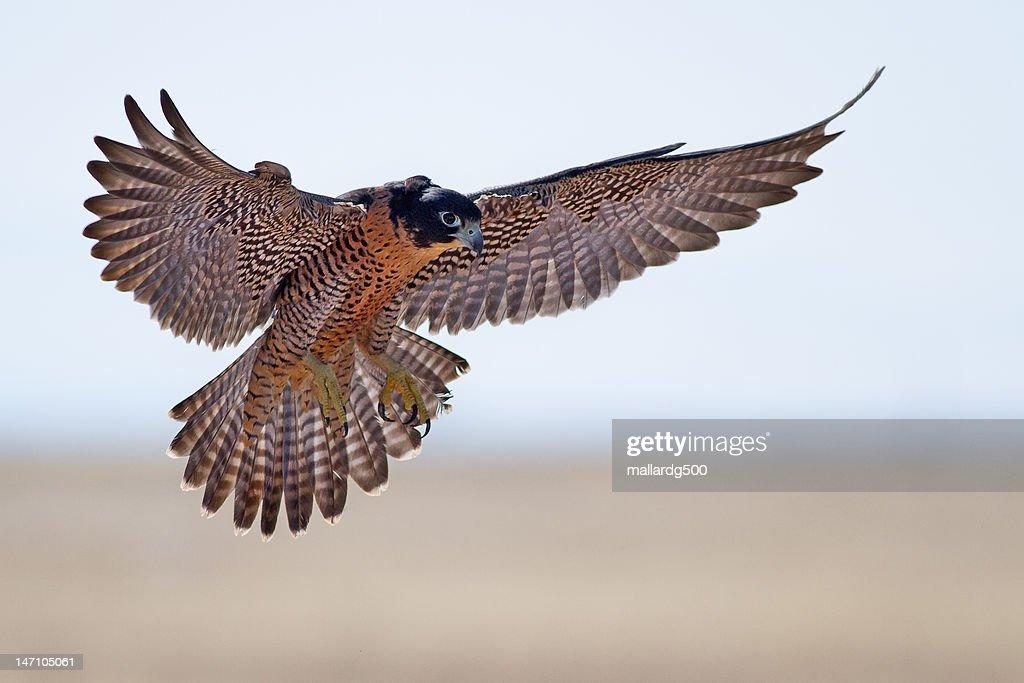 Peregrine Falcon : Stock Photo