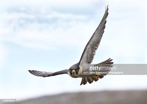 peregrine falcon - hawk stock photos and pictures